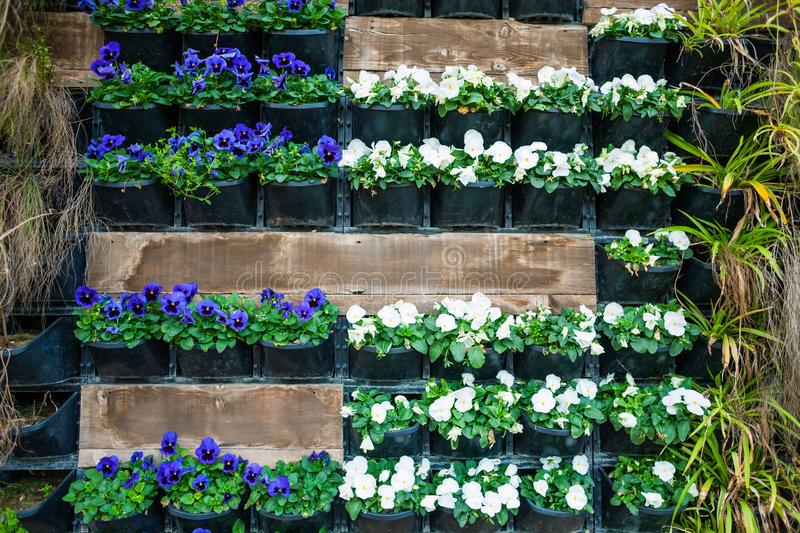 Wall with flower pots. Flowers in pots hang on the wall. City decor. Walls of flowers. Violets in flowerpots royalty free stock photo