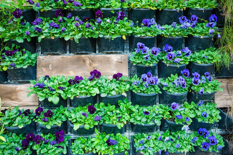 Wall with flower pots. Flowers in pots hang on the wall. City decor. Walls of flowers. Violets in flowerpots stock photo