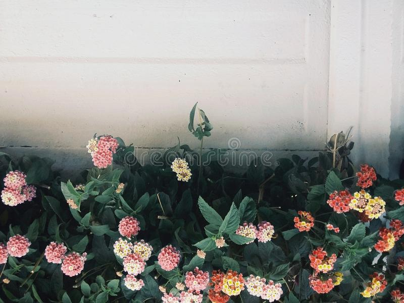1 Wall with flowering hedge stock images