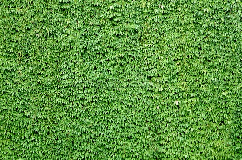 Wall of fresh green leaves royalty free stock images