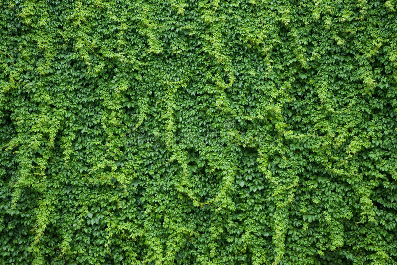 Wall with green ivy leaves. Ivy plant covering a wall with luscious green leaves royalty free stock images