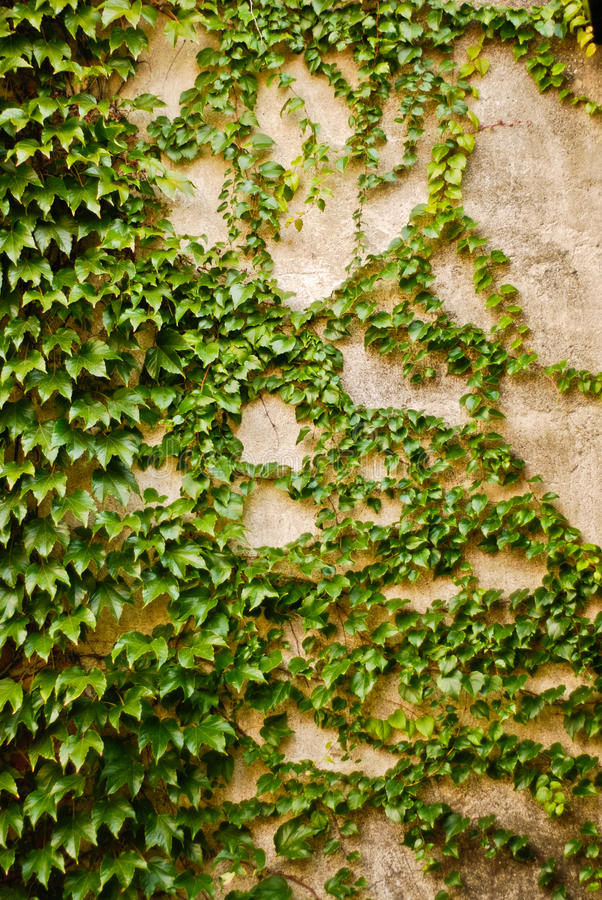 Wall with green ivy leaves. Ivy plant partially covering a wall with green leaves stock images