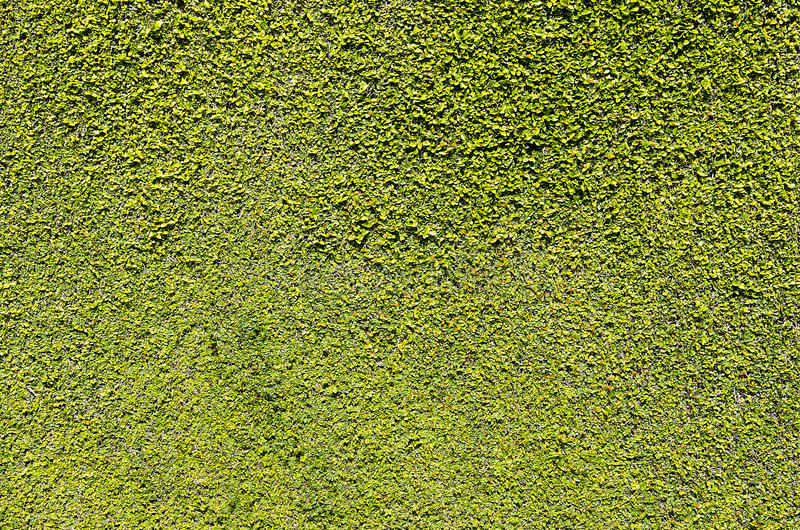 Download Wall of green leaves stock image. Image of decorated - 23542651