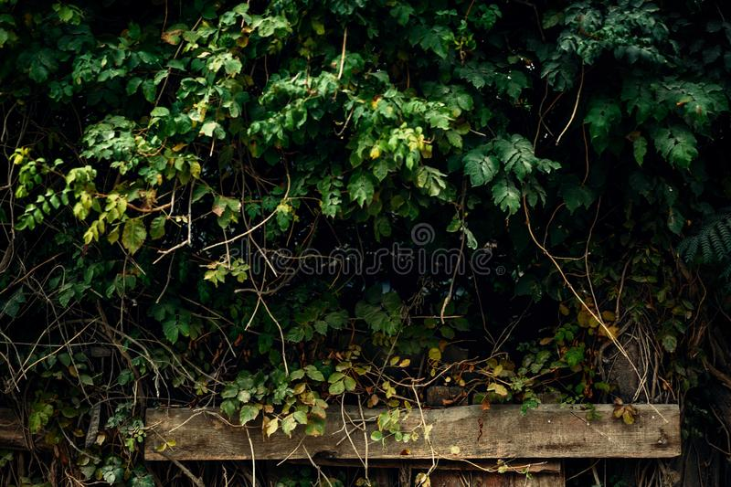 Wall of green leaves against the background of wooden pillars stock photos