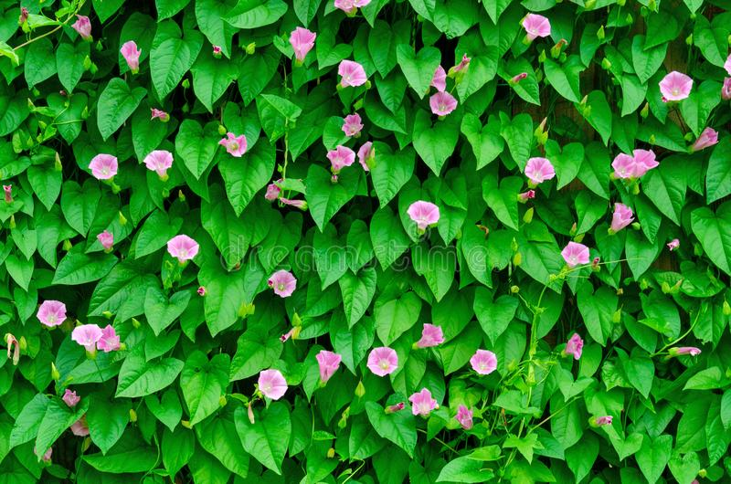 Wall of green leaves on the garden. A wall of green leaves royalty free stock photo