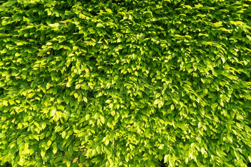 Wall hedge of green leaves in the rays of the bright morning sun. Creative vintage natural background stock image