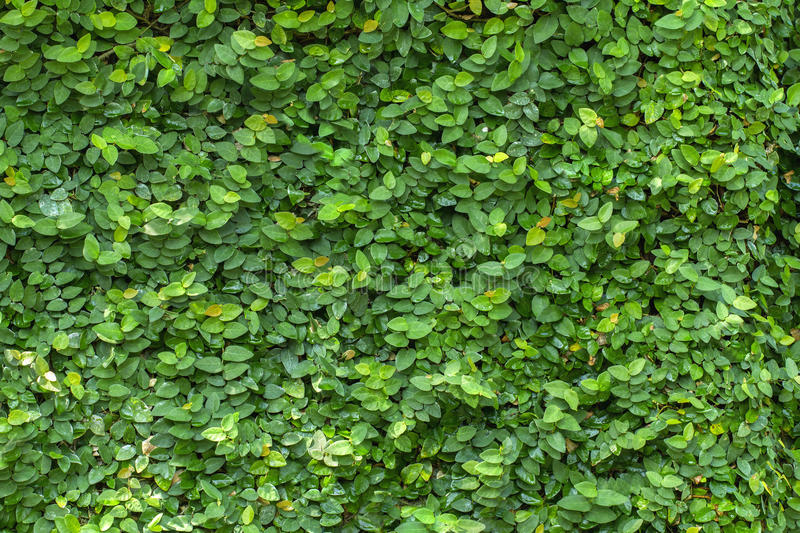 Wall of leaves stock images