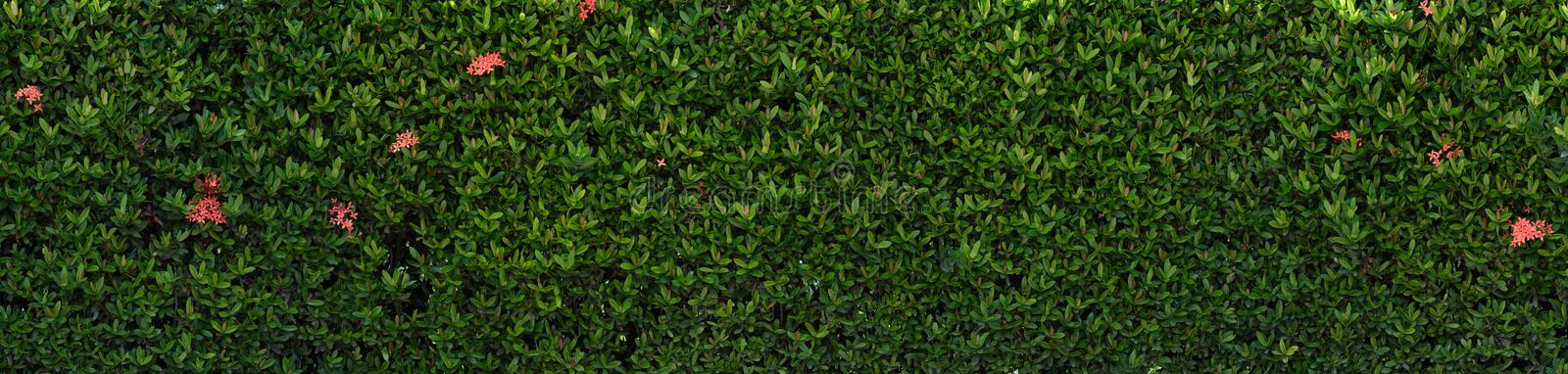 Wall of leaves with red flower. Green leaf fence, bush wall.  royalty free stock images