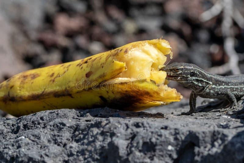 Wall lizard gallotia galloti palmae eating a discarded banana with volcanic landscape rock in the background. La Palma Island,. Wall lizard gallotia galloti royalty free stock photos