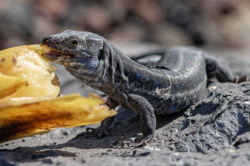 Wall lizard gallotia galloti palmae eating a discarded banana with volcanic landscape rock in the background. La Palma Island,. Wall lizard gallotia galloti stock photography