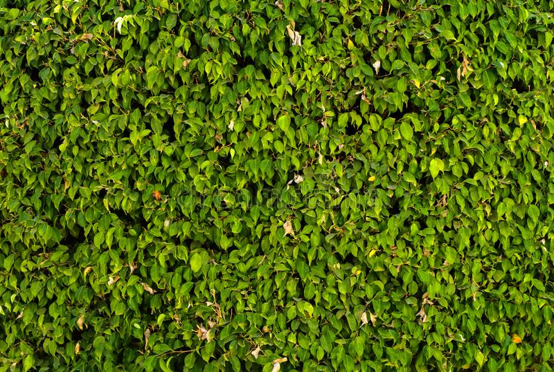 A wall of lush green foliage. Close-up of fragments. In the category of creative abstract background of exotics, screen saver, wa. Llpaper stock photo