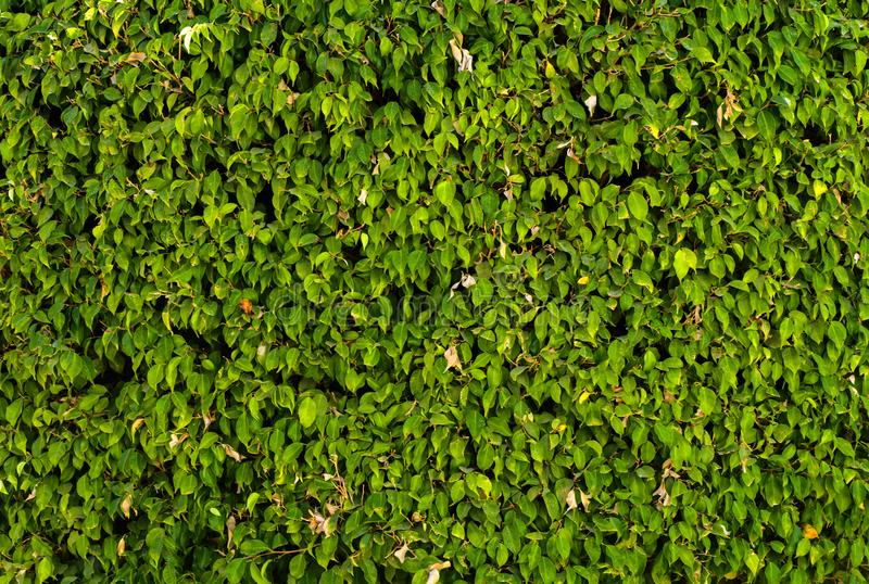 A wall of lush green foliage. Close-up of fragments. In the category of creative abstract background of exotics, screen saver, wa. Llpaper royalty free stock photos