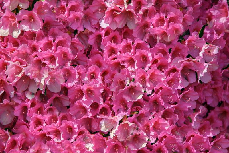 Wall of pink real flowers, spectacular background, wonderful flowers stock photography