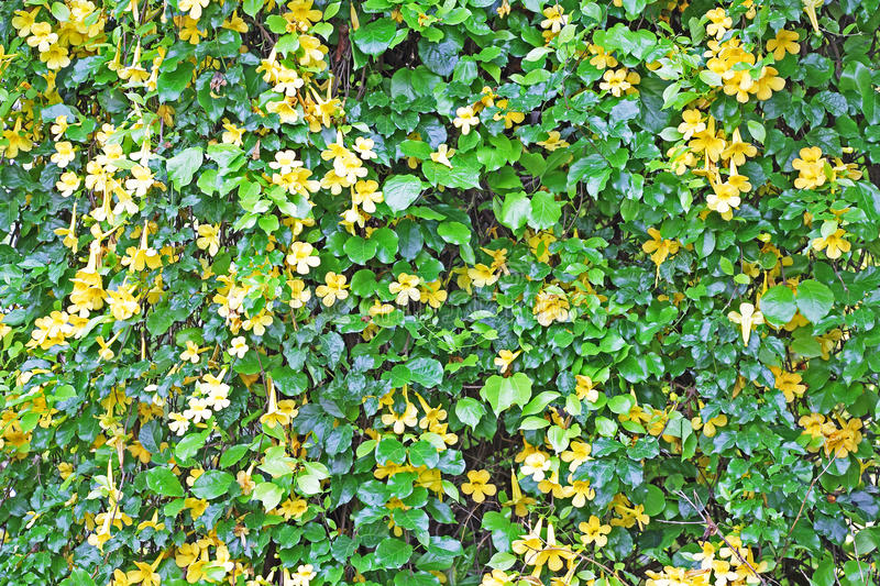 Wall of vine with yellow flowers stock image image of texture download wall of vine with yellow flowers stock image image of texture tranquil mightylinksfo