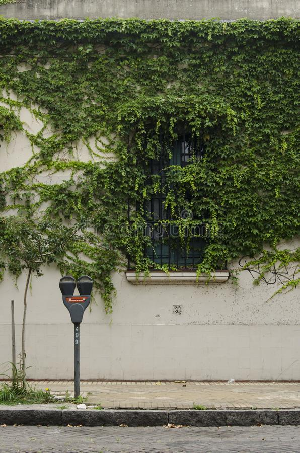 Wall with window covered with vines. Urban wall with a window, covered by green creeper plants