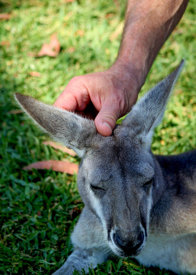Wallabee Affection stock image