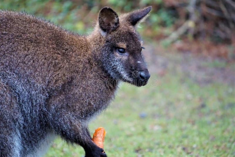 Wallaby à col rouge mangeant une carotte photos libres de droits