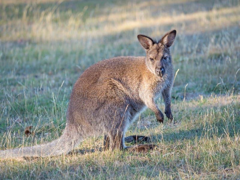 Wallaby à cou rouge dans un pré images stock