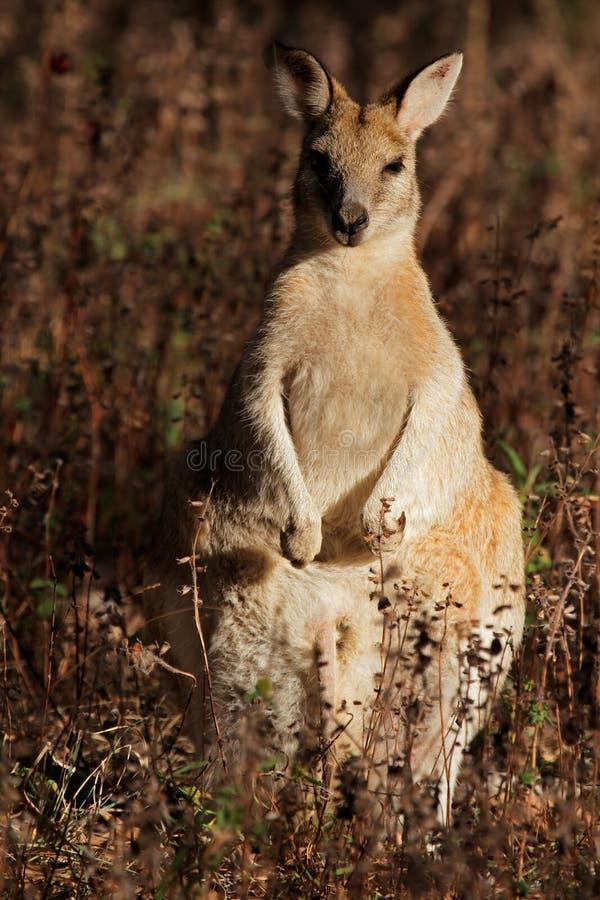 Wallaby ágil fotografia de stock royalty free