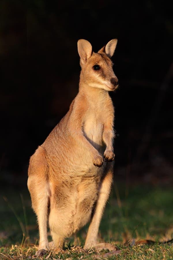 Wallaby ágil, Austrália imagem de stock