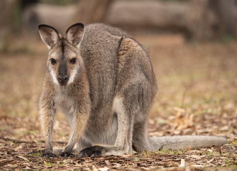 Wallaby étranglé rouge dans le buisson australien sec photo stock