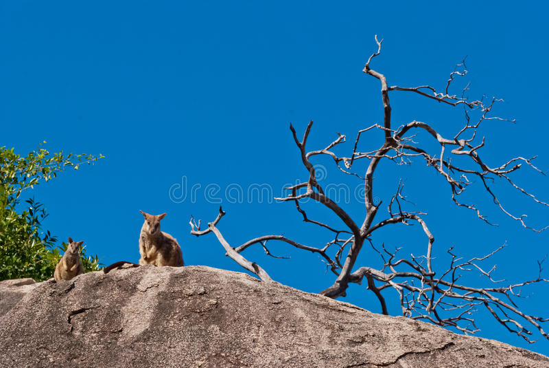 Wallaby, μαγνητικό νησί βράχου, Αυστραλία στοκ εικόνες