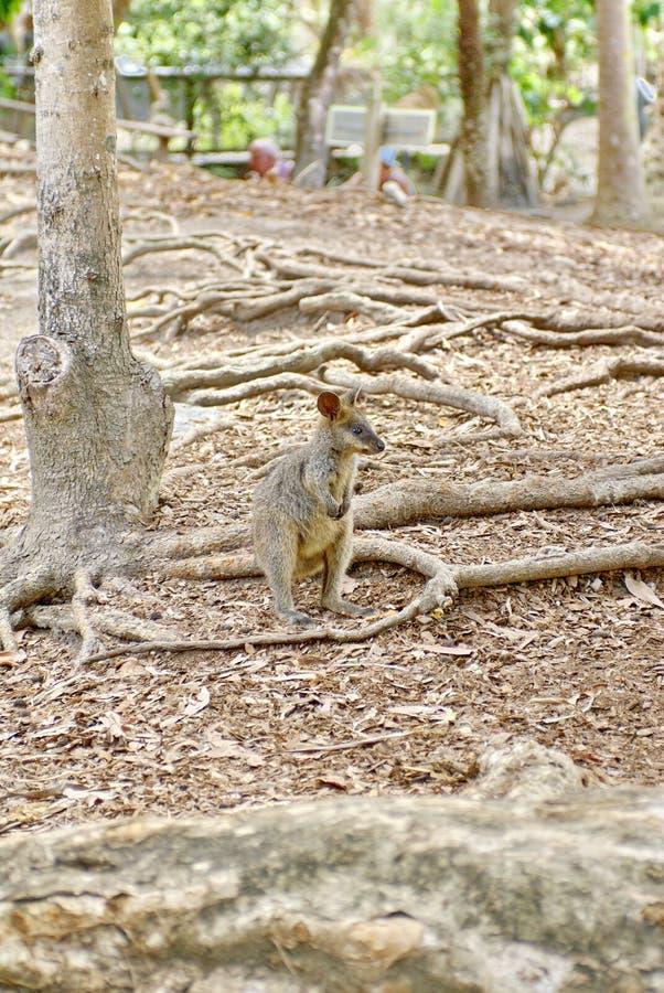 Wallaby σε ένα πάρκο στοκ εικόνα με δικαίωμα ελεύθερης χρήσης