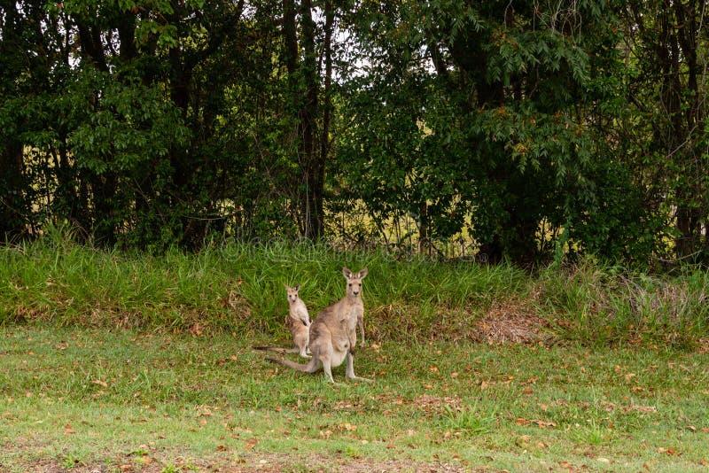 Wallaby и кенгуру в Буше Квинсленде стоковое фото