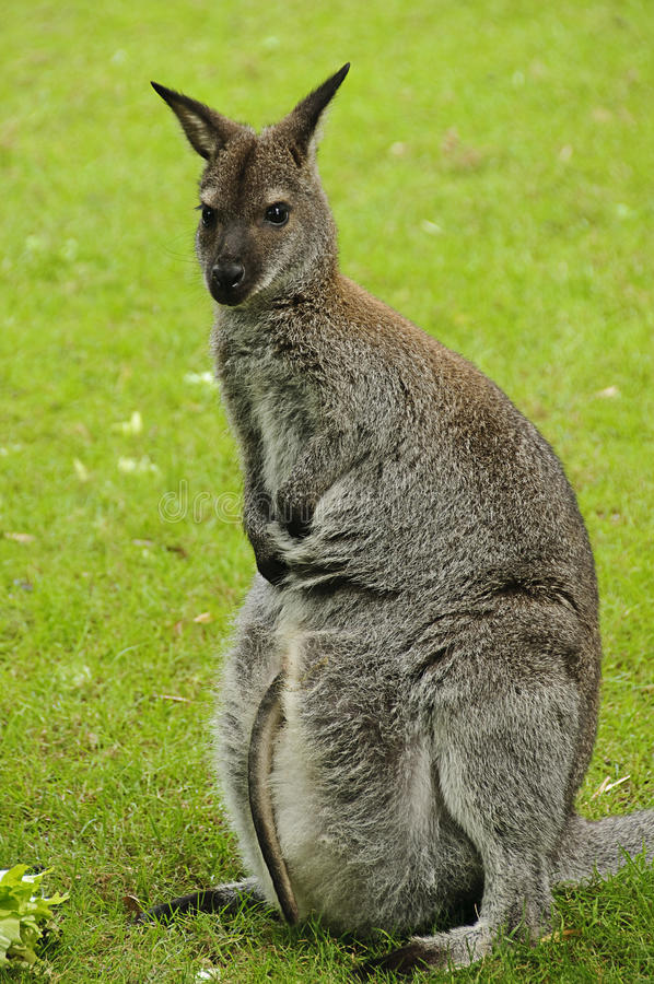 wallaby красного цвета s bennett necked стоковые фотографии rf