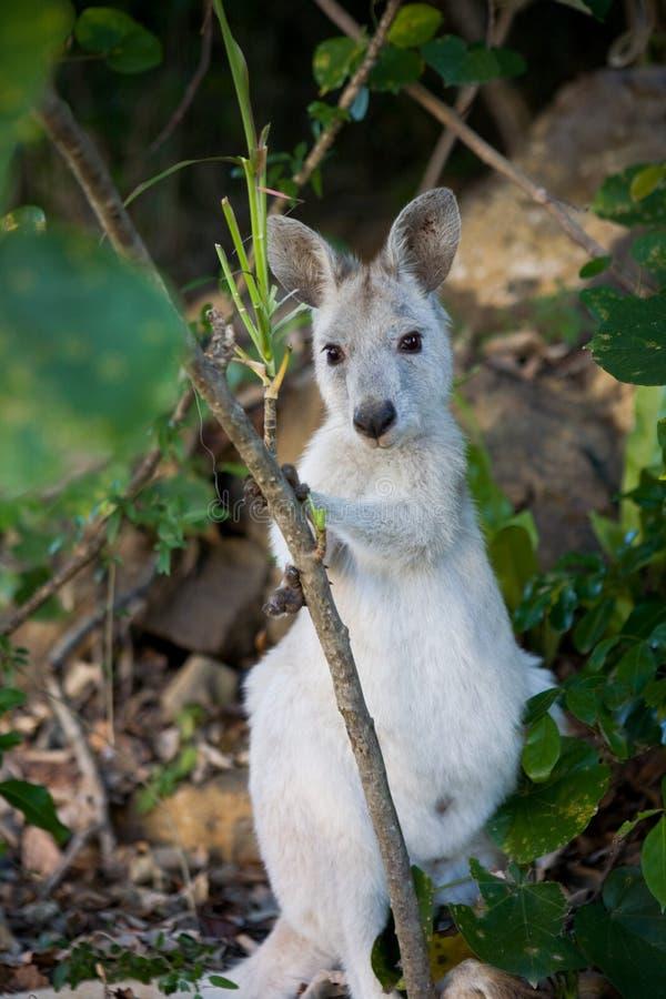 Wallaby утеса стоковые изображения