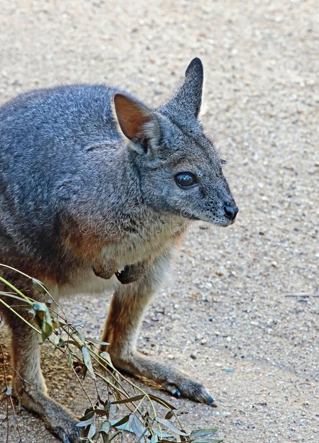 wallaby stock afbeelding