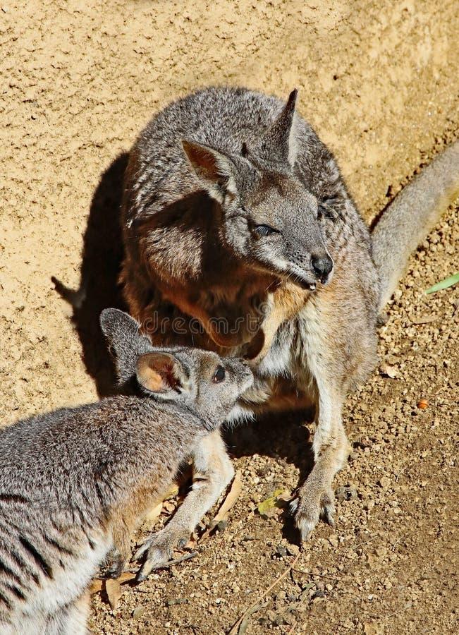 wallaby fotografia de stock royalty free