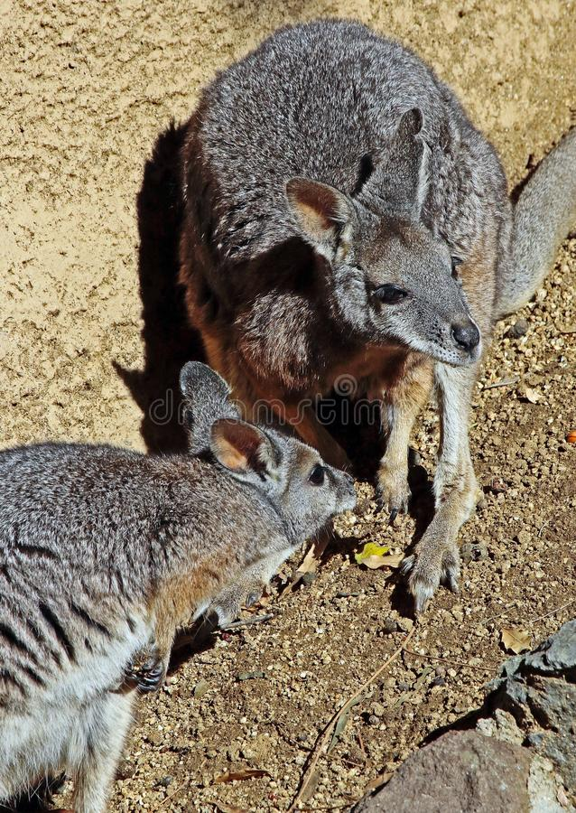 wallaby fotografia de stock