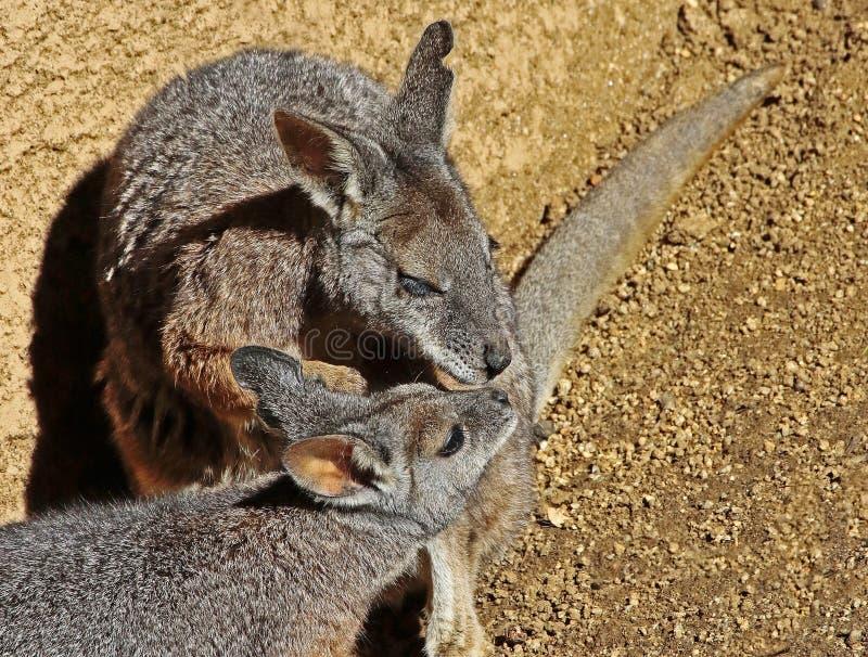 wallaby fotos de stock royalty free
