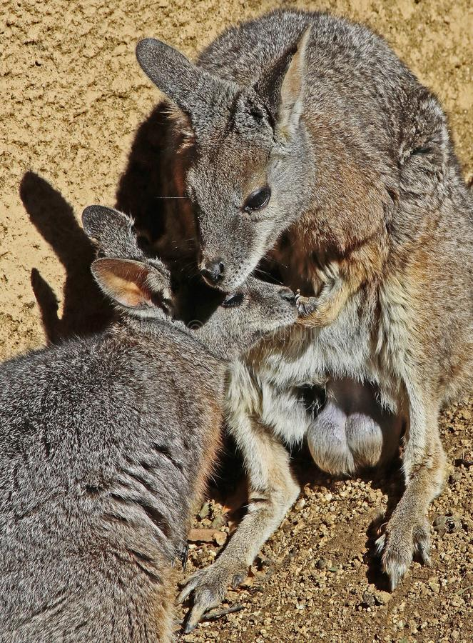 wallaby imagem de stock royalty free