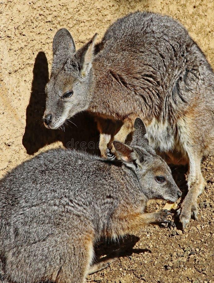 wallaby foto de stock
