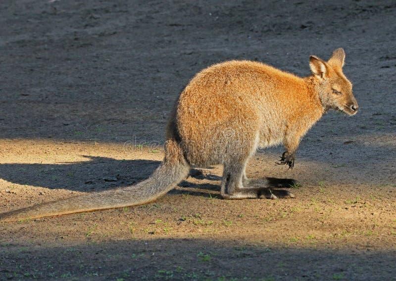 wallaby foto de stock royalty free