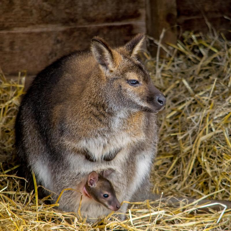 wallaby foto de archivo libre de regalías