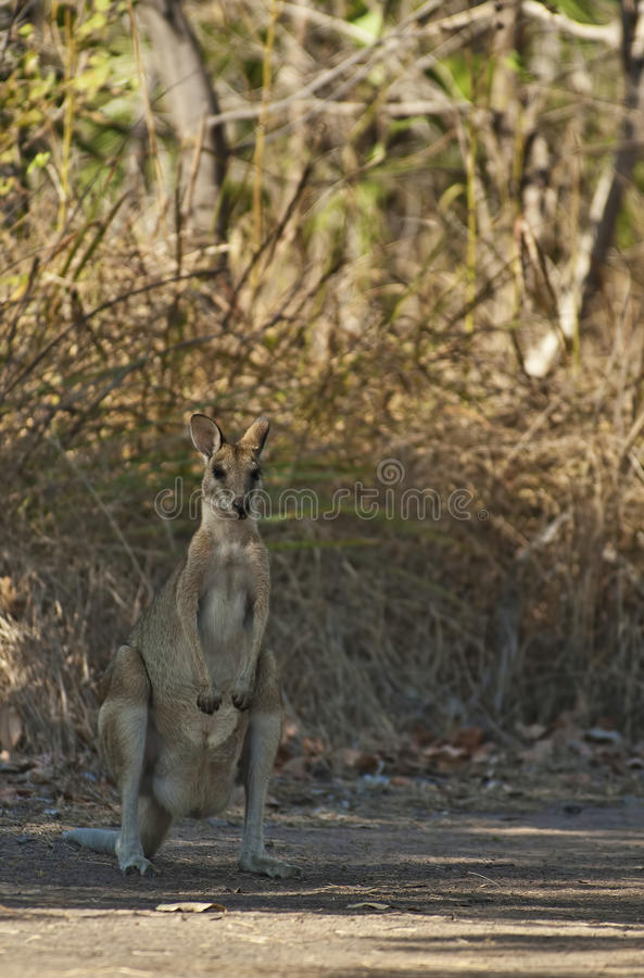 Wallaby imagenes de archivo