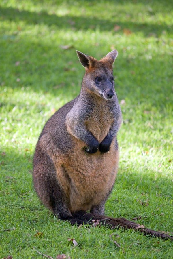 Wallaby immagini stock