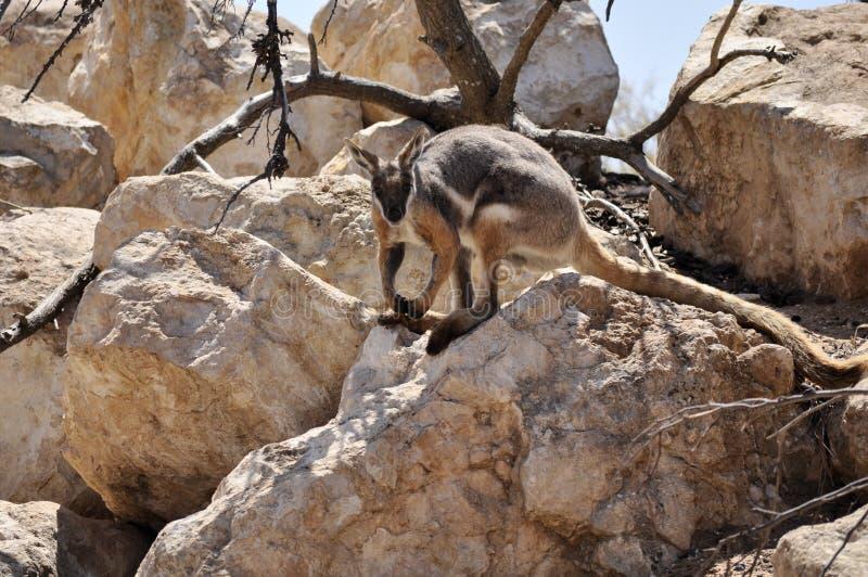 Wallaby fotos de stock