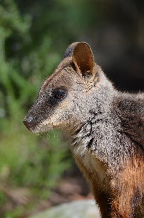 Wallaby imágenes de archivo libres de regalías