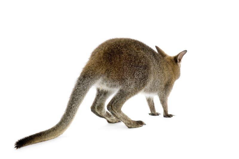 Wallaby stock fotografie