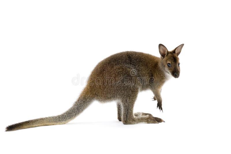 Wallaby fotografía de archivo