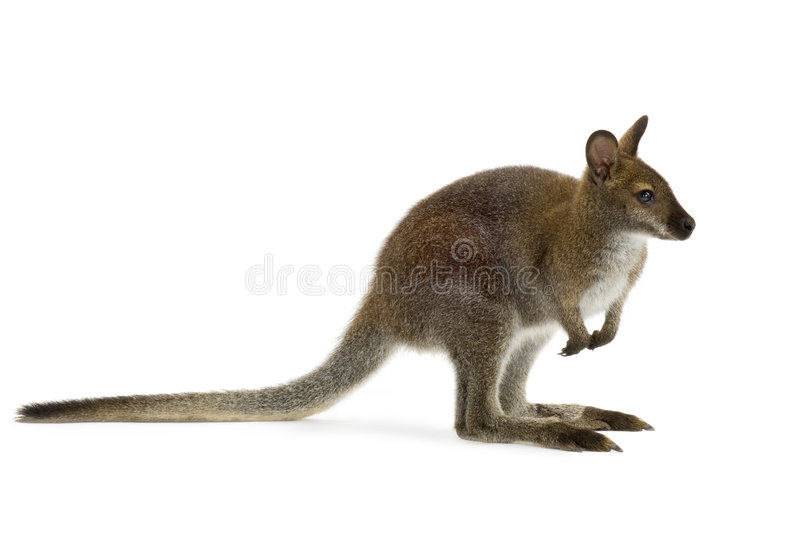 Wallaby stock foto