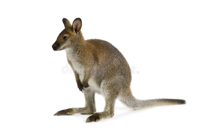 Wallaby stock image
