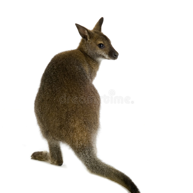 Wallaby stockfotografie
