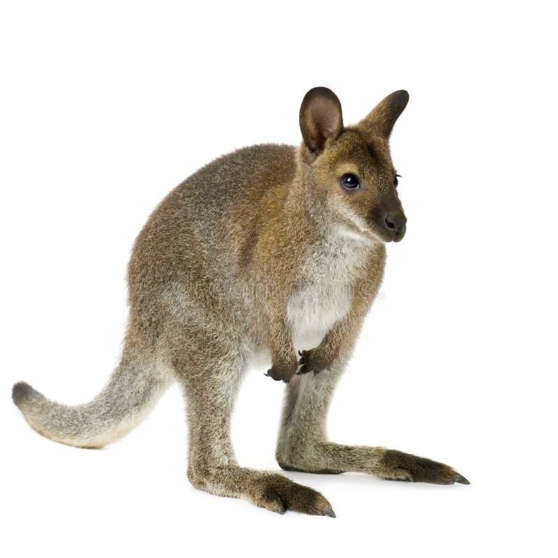 Wallaby royalty-vrije stock fotografie