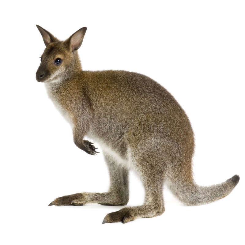 Wallaby photos stock