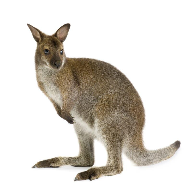 Wallaby royalty-vrije stock foto's